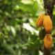 Comment traduire l'économie circulaire en cacaoculture ?